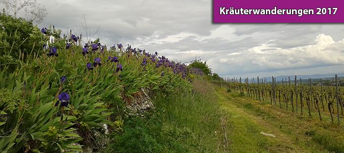 Kräuterwanderungen in Hangen-Weisheim 2017
